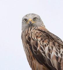 RED KITE WILD BIRD (WiltsWildAboutBirds) Tags: redkitesoxfordshire6thjuly2014 red kite milvus portrait picture bird prey raptor wild wildaboutwiltshire