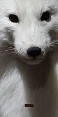 Cute Artic Fox (of Death) (Craig Walkowicz) Tags: fox articfox mammal animal fur hair white cute adorable clever carnivore predator ccw