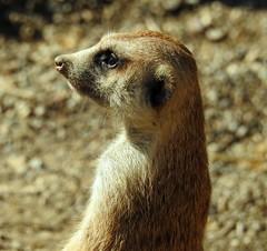 0268ex2  the watchman (jjjj56cp) Tags: meerkat suricate carnivore mammals zoo cincinnatizoo cincinnati oh ohio cincinnatioh watching watchful closeup p900 jennypansing fur furry whiskers eyegleam