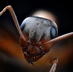 Retrato de una hormiga (Anddune) Tags: hormigas ant bicho macro meg extremo focus stack macrofotografia