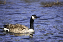 Swimming Solo (joegeraci364) Tags: canadian animal bird calm fowl geese goose marsh migrate migration nature pair peace pond quiet reed scenic season serene spring swim two water waterfowl wild wildlife