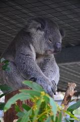 Port Macquarie, NSW, Australia (phudd23) Tags: portmacquarie koala nsw newsouthwales australia