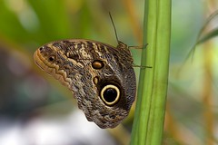 Owl Butterfly (Caligo memnon) (Douglas Heusser) Tags: owl butterfly caligo lepidoptera lepidoptery wings mimicry biology science canon macro photography tamron 90mm lens insect arthropod