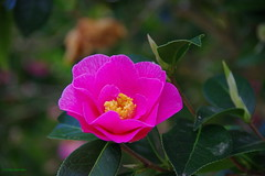 IMG30172a_C (Kernowfile) Tags: glendurgangarden plants trees flowers