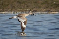 Skimmer (gseloff) Tags: willet bird flight bif wildlife surf beach bolivarflatsshorebirdsanctuary houstonaudubonsociety galvestoncounty texas gseloff