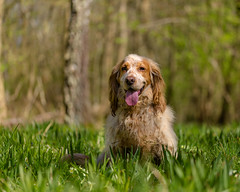 Bringing home the forest. (microwyred) Tags: grass sitting cute mammal pets domesticanimals canine brown animal looking spaniel jasper friendship purebreddog nature dog outdoors pedigreed puppy cockerspaniel hound wildflowers