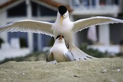Elegant Terns Trying to Make Sure the Future Includes More Elegant Terns (halladaybill) Tags: eleganttern bird newportbeach balboapeninsula mating sternaelegans beachparty orangecounty urban