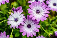 Flowers. (Antonio Camelo) Tags: nikon nature naturaleza foto flower flor daisy waterdrops