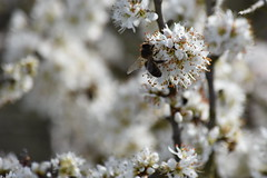 Abejas en Prunus spinosa (esta_ahi) Tags: viladellops rosaceae flor floración flores flora abella abeja apis mellifera apismellifera apidae hymenoptera insectos fauna penedès barcelona spain españa испания prunus spinosa prunusspinosa endrino aranyoner