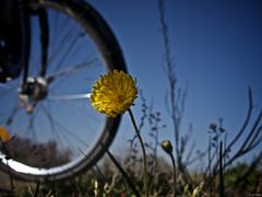 Día del número Pi (14 de marzo) (Luicabe) Tags: airelibre bicicleta cabello cieloazul circunferencia dientedeleón enazamorado exterior flor luicabe luis naturaleza planta radio vehículo yarat1 ngc