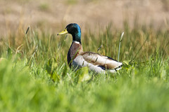 A dapper drake (Margaret S.S) Tags: duck drake mallard grasses waterfowl