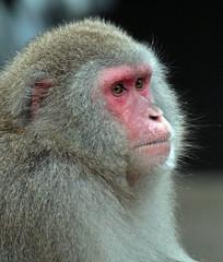 japanese macaque artis JN6A5170 (joankok) Tags: macaque makaak japansemakaak japanesemacaque macacafuscata macaca artis aap monkey primate primaat asia azie japan