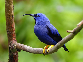 Purple Honeycreeper / Cyanerpes caeruleus, Asa Wright Nature Centre, Trinidad