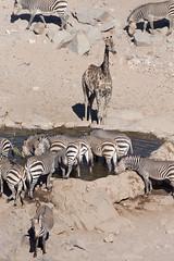 Hustle and bustle at the waterhole (dieLeuchtturms) Tags: 2x3 africa afrika bergzebra equidae equuszebra equuszebrahartmannae giraffacamelopardalis giraffe hartmannbergzebra hobatereconcession kunene namibia perissodactyla pferde säugetiere unpaarhufer vertebrata vertebrates wirbeltiere mammals mountainzebra