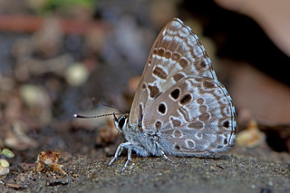 Niphanda asialis - the White-banded Pierrot