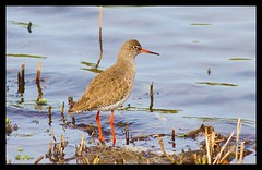 Redshank . (Diddley Bo) Tags: