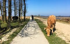 Drenthe - Friesland - Groningen ride April 8 2017, 176km (Klaas / KJGuch.com) Tags: cycling ciclismo wielrennen roadbike roadbikes bike bicycle bianchi bianchisemprepro netherland nederland outandabout spring aprilrides cyclinginapril cyclingphotos cyclingphotography justdoit cow cows livestock cattle vee koe koeien