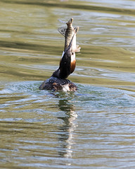 Great Crested Grebe eating lunch (baldychops) Tags: grebe greatcrestedgrebe bird wildfowl feathers beak crest crested river thames riverthames water reading berkshire spring nature natural outdoor zoom crop reflection fish feed food feeding lunch meal