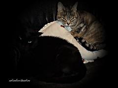 Luky y Dolsa hora de dormir 001 (adioslunitaadios) Tags: gatos gatocomún