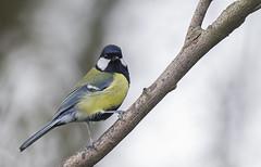 DSC_9245 Great Tit (Rattyman76) Tags: nikon d3s 500mmf4 greattit bird