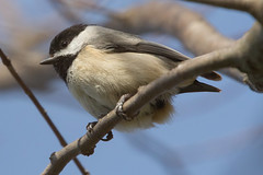 Carolina Chickadee 4-2-2017-10 (Scott Alan McClurg) Tags: emberizidae flickr pcarolinensis paridae passeroidea poecile animal back backyard bird bloom blossom bud carolina carolinachickadee checkadee flickrbirds flower forest life nature naturephotography neighborhood pear perch perching portrait smallbirds songbird suburbs tree wild wildlife winter woods yard delaware