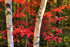 Autumn Colours in Algonquin Provincial Park, Ontario, Canada (klauslang99) Tags: nature naturalworld northamerica canada algonquin park klauslang maple leaves birch fall autumn