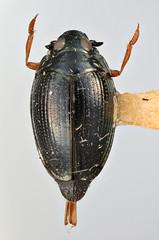 Gyrinus splendens Ochs, 1949 (Biological Museum, Lund University: Entomology) Tags: coleoptera gyrinidae gyrinus splendens mzlutype05576 taxonomy:binomial=gyrinussplendens