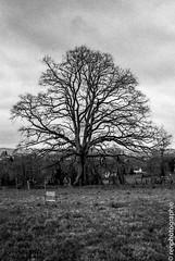 Arbre. (renphotographie) Tags: analog argentique film35mm berggerpanchro400 olympusxa renphotographie noiretblanc monochrome arbre fougères