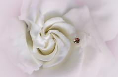 Gardenia landing..... (Melanie Bradley) Tags: flower ladybug gardenia soft macro
