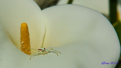 La persigo entre las calas---:)) (loriagaon) Tags: arañacangrejo sonydscrx10iii galicia pontevedra españa rx10lll macro loriagaon loria plantas plants animales animals araña spider naturaleza nature sonyrx10lll
