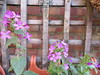 Saturday, 1st, Sweet Rocket IMG_4725 (tomylees) Tags: essex morning spring april 2017 saturday 1st aprilfool garden sweet rocket flowers