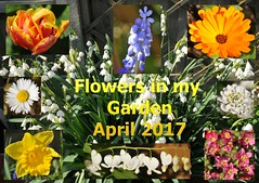 Flowers in my garden April 2017 (Vee living life to the full) Tags: marigold leucojum summersnowdrop tulip parrot daisy daffodil saxifrage white dicentra grapehyacinth nikond300 flowers april 2017 beautiful stunning flora blumen land garden gardener hobbies outdoors green
