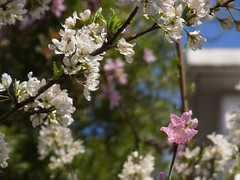 Peach blossoms (nofrills) Tags: peach prunus モモ ももいろ 桃色 pink flora floral flower flowers blossom blossoms pinkflowers spring plumblossoms white whiteflowers