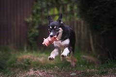 Shadow (carl.walker) Tags: husky siberianhusky pup puppy crossbread crossbreed pet dog petportrait portrait