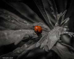 Ladybug Deep Red (that_damn_duck) Tags: nature leaf bug animal ladybug