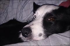 """ One on One Time ! "" (John Neziol) Tags: kjphotography bordercollie pointynoseddogs splitfacedbordercollie splitface blueeyeddog blueeyes blackwhite pet dog dognose animal snuggle cute"