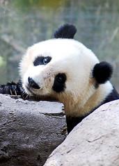 Panda face (ld photography 12) Tags: panda pandabear bear blackandwhite animal nature portrait babyanimal