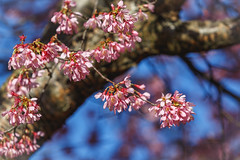 3/3 Spring Blossoms (Karol A Olson) Tags: spring flowers cherrytree cherryblossoms pink trees mar17 project3652017 mdpd2017