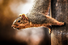 A Friendly Inspection (Explored) (Neil_Wagner) Tags: squirrel closeup cute wood