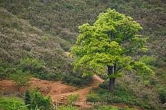 _Y2U9019.0417.Tà Xùa.Bắc Yên.Sơn La (hoanglongphoto) Tags: asia asian vietnam northvietnam northwestvietnam nature landscape scenery vietnamlandscape vietnamscenery vietnamscene outdoor tree hill hillside plant canon canoneos1dx canonef200mmf28liiusm2xiii tâybắc sơnla bắcyên tàxùa thiênnhiên phongcảnh thựcvật cây ngọnđồi sườnđồi phongcảnhtàxùa câytàxùa câyviệtnam