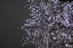 IMG_0524 (digitalbear) Tags: canon powershot g9x markii mark2 nakano dori sakura cherry blossom blooming fullbloom tokyo japan yozakura hanami