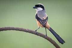Long-tailed Shrike @ Tuas (C.K.X) Tags: birding birds birdsofsingapore longtailedshrike nesting nikon300mmpf nikond500 wildlife