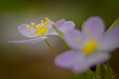 Wild Geranium-Geranium maculatum (wdterp) Tags: geranium wildgeranium wildflowers woodlands woods spring macro closeup