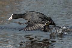 Biesbosch - Coot water running (CapMarcel) Tags: biesbosch goose geese duck canadian nikon d500 500mm