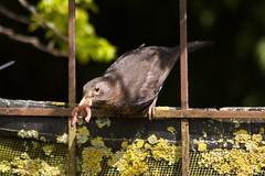 Hard working Mother !! (Kay Musk) Tags: femaleblackbird blackbird turdusmerula bird baby feeding wildlife wild nature nikond3200 essex uk coth5