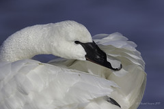 No place to hide (Chantal Jacques Photography) Tags: trumpeterswan esquimaltlagoon noplacetohide wildandfree bokeh plumage plumagedisplay display