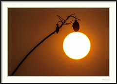 Sr Sol (J. Amorin) Tags: atardeceres lugares varios macuspana tabascomexico sol sun sileil amorin cochlospermumvitifolium