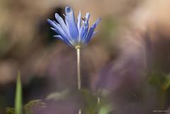 Acquaintance with new species in thracian flora II : Anemone blanda Blue Shades (oskaybatur) Tags: wildflowers kırçiçekleri turkey turkei türkiye trakya çerkezköy spring ilkbahar april nisan 2017 oskaybatur dof closeup pentaxk10d smcpentaxdal55300mmf458ed anemoneblandablueshades mavianemon pentaxart justpentax nature blue flower balkaya vize kırklareli pentax pentaxian