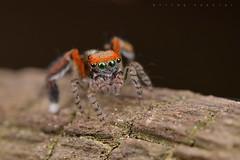 Saitis barbipes, mâle (Cieutat) (G. Pottier) Tags: saitisbarbipes saitis salticidae jumpingspider araignéesauteuse saltique litière sousbois