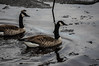 Canada Geese (noahtaylor3) Tags: nature nikon d5000 thunder bay lake superior ice winter wildlife goose geese animal water ontario